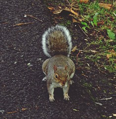 Grey Squirrel On A Grey Day (Bricheno) Tags: glasgow bricheno park kelvingrove kelvingrovepark squirrel greysquirrel scotland escocia schottland cosse scozia esccia szkocja scoia