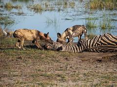 African wild dogs eating a Zebra. (Gautam Dewan) Tags: botswana okavangodelta hundaisland tubutree