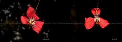 Desktop89-Red Flower Vermillion Dendrobium (Dendrobium cinnabarinum) (Vince_Adam Photography) Tags: plantae magnoliophyta liliopsida asparagales orchidaceae epidendroideae dendrobieae dendrobiinae dendrobium dencinnabarinum dendrobiumcinnabarinum orkid bungaorkid bunga flower redflowers orchid wildflowersofborneo borneo malaysia sabah flora floraofborneo montane mossyforest forest macro macroflower wildorchids redorchid