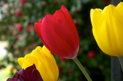 Yellow and Red Tulips (Eric Hunt.) Tags: red flower yellow bulb fragrant tulipa liliaceae unpleasant geophyte