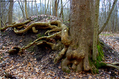 Mad Roots (B.G.Schultz-Photography) Tags: tree nikon roots sycamore cuyahogavalleynationalpark cvnp d7000