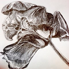 """#tulip #drawing #sketch #sketchbook #sketchaday #pencil #blackwing #palomino • <a style=""""font-size:0.8em;"""" href=""""https://www.flickr.com/photos/61640076@N04/8621551433/"""" target=""""_blank"""">View on Flickr</a>"""