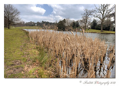 Bulrushes at Painshill (Fred255 Photography) Tags: park uk england fred 20mm usm f28 ef gp manfrotto eos1ds markiii painshillpark painshill greatphotographers canonef20mmf28usm 1017mm frameit 1dsmk3 canoneos1dsmarkiii mygearandme fred255 greaterphotographers