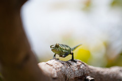 (Green Fire Photography) Tags: wild green nature animal fire photography nikon reptile chameleon 70200 d3 connoxfire greenfirephotography