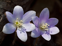 Hepatica americana (JacquiTnature) Tags: blue woodland spring woods wildflower ranunculaceae sepals buttercupfamily roundlobedhepatica jacquit