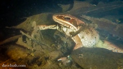 Wood Frog (Rana Sylvatica) - underwater, hiding in leaves (DaveHuth) Tags: ny underwater amphibian breeding houghton animalia anura amphibia ranidae woodfrog chordata ranasylvatica lithobates taxonomy:class=amphibia taxonomy:order=anura taxonomy:family=ranidae taxonomy:kingdom=animalia taxonomy:phylum=chordata lithobatessylvaticus taxonomy:species=sylvaticus taxonomy:binomial=lithobatessylvaticus taxonomy:genus=lithobates taxonomy:common=woodfrog gaertepond