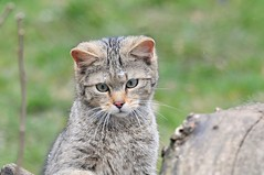 What? (Pim Stouten) Tags: cat kat feline chat katze wildcat felissilvestris wildekat anholterschweiz wildkatze europischewildkatze wildkat felissilvestrissilvestris europesewildekat europeanwildcat