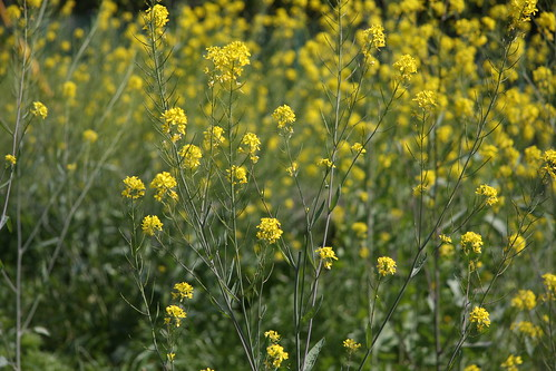 春ー菜の花