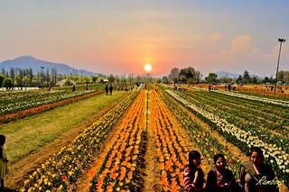 Tulip Garden Srinagar ! (Imagination of Sunset)