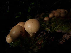 In the spotlight (annkelliott) Tags: canada nature forest kananaskis cluster fungi alberta fungus mysterious mycology puffball kcountry beautyinnature rottinglog westbraggcreek