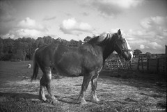 Belgian (davidkoiter) Tags: camera old bw horse white ontario canada david black film box target brownie format belgian workhorse 620 six20 koiter davidkoiter