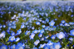 Nemophila(Explored) (shagzi23) Tags: gf5 g20mmf17