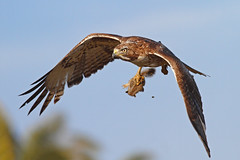 Red-tailed Hawk with Baby Squirrel (bmse) Tags: wings squirrel prey hunt redtailedhawk talons bolsachica salahbaazizibmsecanon7d400mm56