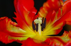 Tulip (Liisamaria) Tags: tulips beautifulshot languageofflowers ilovemypic exemplaryshots worldofflowers awesomeblossoms doubledragonawards lapetitegalerie saariysqualitypictures addictedtonature lindseysflowergroup asingleflowers flowermacrojoy