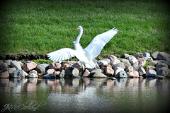Coming in for a Landing (ThroughMyEyes_JKM) Tags: bird heron grass wings pond egret wingspan