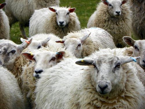 GOC Studham 039: Sheep