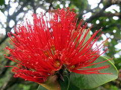 Na Pali Coast Flower (Canadian Veggie) Tags: vacation flower hawaii trail kauai kalalau haena napalicoast kalalautrail haenastatepark