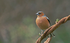 Chaffinch Fringilla coelebs (Richard Venn) Tags: nature birds garden wildlife chaffinch fringilla coelebs
