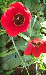 Bright red tulips (joybidge (back from vacation)) Tags: tulips tulip springflowers victoriabc naturepatternscanada trishcanada flickrandroidapp:filter=tokyo