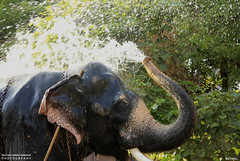 MG_3475 (PRATHAPSTOCKIMAGE) Tags: india elephant festival canon religion decoration kerala trissur pooram nettipattom eos60d