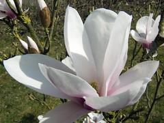 Magnolia (Gunnar Ries zwo) Tags: plants plant spring blossom pflanze magnolia saucermagnolia blueten fruehling bluete magnolie magnolien tulpenmagnolie