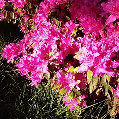 """#morning #light #pink #azalea #blossom #pdxspring • <a style=""""font-size:0.8em;"""" href=""""https://www.flickr.com/photos/61640076@N04/8684053150/"""" target=""""_blank"""">View on Flickr</a>"""