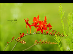 Red Saffron Crocosmia (HKRPhotography) Tags: flowers red usa green nature newjersey dof bokeh nj greenplants crocosmia botanicalgarden saffron greenplanet montbretia 50mmprime 50f14 fallingstars bokehlicious sal50f14 sony50mmf14 beautifulbackground coppertips curtonus antholyza 50mmphotography