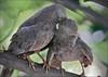 Yellow billed Babbler (Turdoides affinis) (Gurusan2010) Tags: allopreening