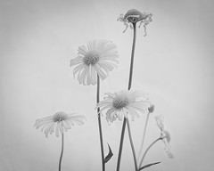 Black and white daisies (photoart33) Tags: blackandwhite bw stilllife flower floral daisies daisy