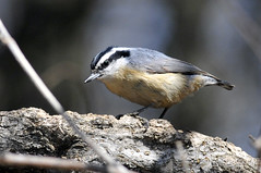 Red-Breasted Nuthatch (skassam) Tags: extra