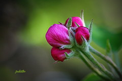 For all my Buds! (judecat (it's all in the Nature of things)) Tags: nature bud flowerbud appleblossombud