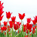 Burnside Tulip Farm 2013-7019.jpg