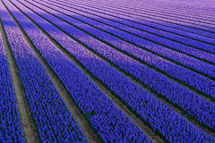 Shadows on the hyacinth fields (Frans.Sellies) Tags: flowers flower netherlands nederland 1855 hyacinth hyacinths hyacint img5778 blinkagain