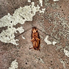 Urban Street Death (cyndisuewho) Tags: street bug insect dead death roach cockroach uploaded:by=flickrmobile flickriosapp:filter=nofilter