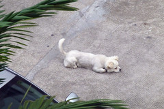 Dog in the street Zhangmutou China (dcmaster) Tags: china street dog ther zhangmutou