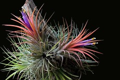 Tillandsia ionantha - 6 (Luiz Filipe Varella - 50.000+ photos!) Tags: mexico klein plantas mexican tillandsia bromeliaceae ionantha filipe luiz bromeliads varella bromélias