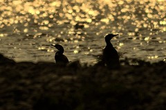 Aalscholvers - Phalacrocorax carbo (Trampelman) Tags: digiscoping aalscholvers trampelman nikond700 stevolgebied leicatelevidapo65