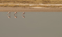 Symmetry (Samuel Roth) Tags: africa nature birds animals wildlife flamingo namibia birdwatching etosha etoshanationalpark