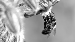 Blanco y Negro (Danny Perez Photography) Tags: california park ca flowers abejas plants plant flower macro green nature gardens garden insect losangeles wings nikon bees insects bee abelha inseto micro ape nectar pollen nikkor abeja insekt honeybee abeille bij insetto biene insecto honeybees 105mm insecta   pollinator  apoidea pollinators   105mmf28gvrmicro 105mmf28gedifafsvrmicronikkor  da100fotos  nikonmicro dannyperezphotography