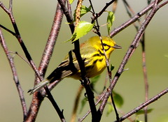 Prairie Warbler 5 (AF3LMike) Tags: black bird nature birds yellow canon outdoors photography wings outdoor hiking pennsylvania wildlife birding wing beak feathers feather birders birdwatching birder warbler yellowandblack birdwatcher naturephotography beaks naturelovers naturelover birdwatchers featheredfriend featheredfriends warblers prairiewarbler birdphotography birdlovers wildlifephotography outdoorphotography birdlover slatington photographylover photographylovers lehighgapnaturecenter canoneos60d outdoorlover eos60d prairiewarblers wildlifelover wildlifelovers outdoorlovers