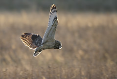 Short Eared Owl. [Explored] (bojangles_1953) Tags:
