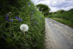 Wildflowers on Eastshaw Lane (Robots are Stupid) Tags: uk greatbritain flowers england grass bluebells rural sussex countryside weeds flora nikon westsussex unitedkingdom britain wideangle dandelion seedhead lane wildflowers 20mm countrylane springflowers southdowns countryroad englishcountryside midhurst verge britishcountryside ruralengland 20mmnikkor ruralsussex d700 woolbeding easebourne nikond700 sussexcountryside eastshawlane southdownsnationalpark daviddalley davidjdalley