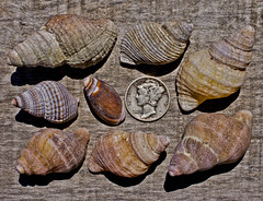 Assorted Sea Snails -- DSC4928 (Lance & Cromwell) Tags: ocean shells macro beach oregon 50mm coast pacific sony sigma oregoncoast beachcombing sonyalpha currycounty a550 beachfindings