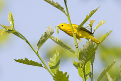 Yellow Warbler with Caterpillar (Shane Hesson) Tags: ohio bird nature sigma caterpillar madison avian yellowwarbler 120300mm lakemetroparks canon7d