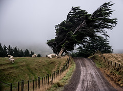 The winds of change! (Ian@NZFlickr) Tags: tree sheep nz otago dunedin strong why peninsula winds leaning