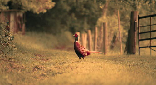 Have a Pheasant Friday!