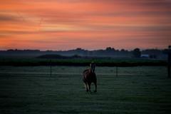 gallop (paulh192) Tags: horse animal gallop field sunrise orange grass michigan lakeview nikon