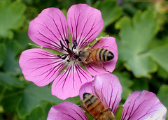Honey Bee on Dragon Heart Geranium (Brenda Dobbs) Tags: geranium flower plant natuer outdoors dragonheart honeybee bee insect bug hexapod hexapoda insecta arthropoda arthropod hymenoptera