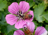 Honey Bee on Dragon Heart Geranium (Bugldy99) Tags: geranium flower plant natuer outdoors dragonheart honeybee bee insect bug hexapod hexapoda insecta arthropoda arthropod hymenoptera