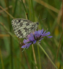 2016_06_0839 (petermit2) Tags: marbledwhitebutterfly marbledwhite butterfly brockadale northyorkshire yorkshire yorkshirewildlifetrust ywt wildlifetrusts wildlifetrust
